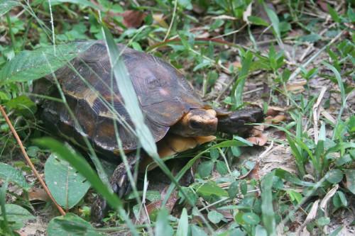 Adult Kinixys erosa found during field survey trip