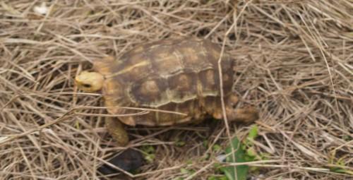Adult female Kinixys homeana found near Lekki Village, Nigeria