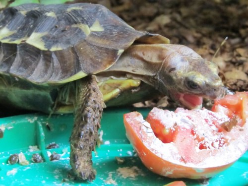 Feeding time for a juvenile Kinixys homeana at the ACI facility